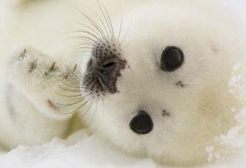 Uszczelki niemowlęcym. Mała foka. Belek – szczenięta