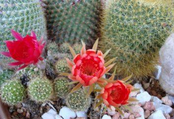 Cactus fioritura: cosa sono le cure di cui ha bisogno?