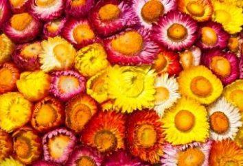 Jesienne kwiaty helichrysum: rosnące z nasion