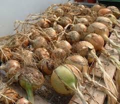Wann und wie die Zwiebeln aus dem Garten entfernen