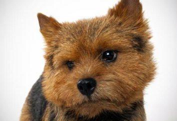 Norwich Terrier: opis rasy