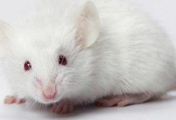 Rêver de la souris blanche: qu'est-ce?