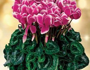 Blooming bellezza inverno – tsiklomeniya. Fiore: manutenzione e le caratteristiche della coltivazione in casa