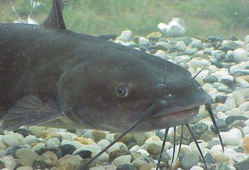 Fangen Catfish donk am Ufer. Die Fischerei auf Wels – die richtige Ausrüstung, die besten Köder und die Suche nach einem Ort,