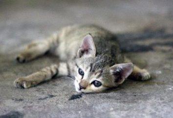 Comment traiter la diarrhée dans un chaton (2 mois)? Les causes, le traitement à la maison, les médicaments, l'alimentation