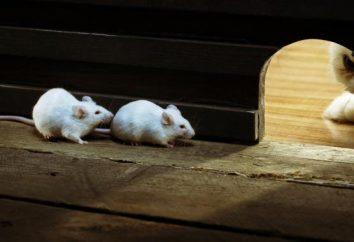 Jak pozbyć się myszy w prywatnym domu? Trucizny na szczury i myszy