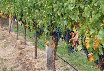 Ochrona winogrona przed szkodnikami i chorobami. Przetwarzanie winogrono wiosna