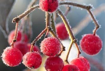 Como a colheita Kalina para o inverno? Receitas trata medicinais