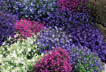 Quand planter les semis lobelia: date limite