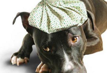 Antybiotyki dla psów: Co może być?