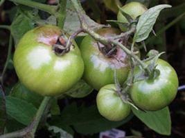 Tomates: requeima e seu tratamento