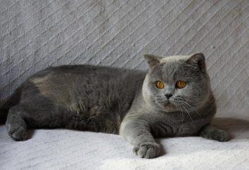 Jakie są rasy szary kot?