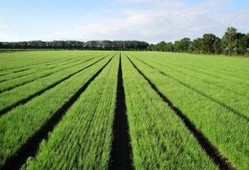 Cipolle Stuttgarter Riesen: descrizione, la semina e la cura