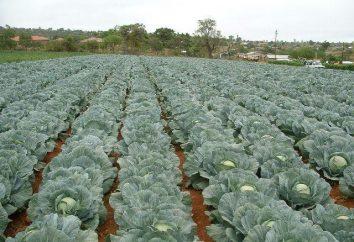 Kale: gatunek, opis, sadzenie i pielęgnacja