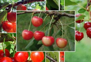 Cherry niemowląt: opis odmiany, charakterystyka, uprawa