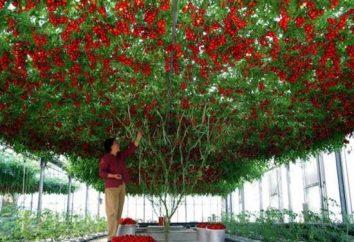Tomatenbaum: ein Märchen oder Realität?