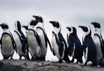 pingwiny afrykańskie: Charakterystyka struktury zewnętrznej i zachowań