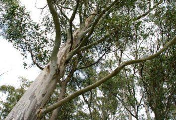 Eucalyptus: opis, zdjęcia, podział, właściwości lecznicze