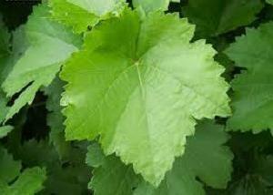 Raisins d'Anyuta. Description, caractéristiques, reproduction
