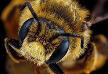 Ile oczy pszczoły? Szlifowane i wizja fotograficzny