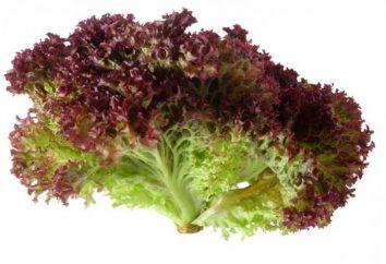 """Sałatka """"Lollo Rossa"""": Opis i cechy uprawy"""