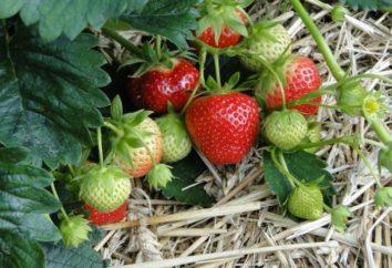 Garland Strawberry: Beschreibung der Sorte, Anbau, Pflege