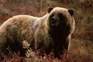 Największym dziś bear – biały
