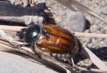Beetle Beetle: opis rozwoju, środki ochrony przed owadami