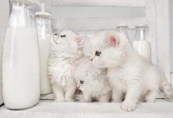 Est-il possible de donner du lait de vache chaton? Qu'est-ce que pour nourrir les bébés tailed en l'absence de l'allaitement maternel?