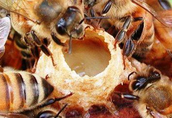 Miód z mleczkiem pszczelim: użytecznych właściwościach. Miód z mleczkiem pszczelim: receptur, cechy, funkcje