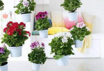 Geranium królewski: przycinanie za bujne kwitnienie, pielęgnacji i rozmnażania w domu