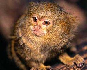 Sagüi-anão macaco em casa: o cuidado e manutenção direita