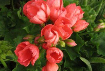 Tulipán Pelargonium: cuidado, descripción, foto