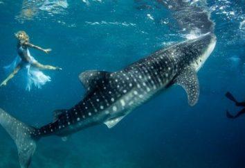 Perché il sogno di uno squalo in un sogno. Se è necessario diffidare di un sogno?