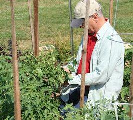 Como amarrar tomates na estufa: Dicas cottagers