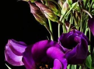 Eustoma – rośnie eleganckie kolory