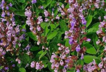 Sage: uprawy w otwartym terenie, zwłaszcza sadzenie i pielęgnacja