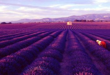 Champ de lavande – la fierté de la France et le symbole national de la Provence. champs de lavande en Crimée