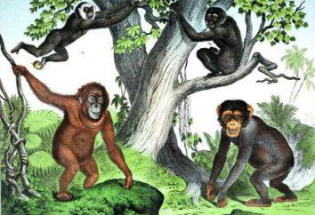 Primaten – es ist für die Familie? Detachment von Primaten und ihre Entwicklung