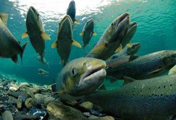 famille Salmon. Types de saumon