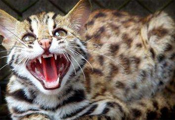 Leopard Cat – mały drapieżnik