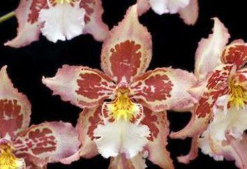 Por orquídea botões cair? Orquídeas secar botões, o que fazer?