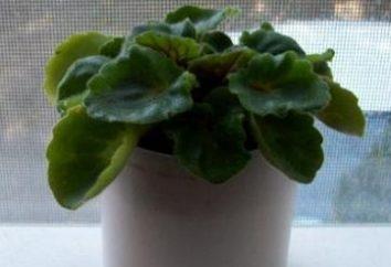 Perché non fioriscono viole? Le ragioni principali