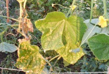 Und wissen Sie, warum Blätter gelb Gurken drehen?