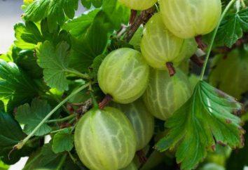Stachelbeere Malachit: Klasse Beschreibung und insbesondere Agrotechnik