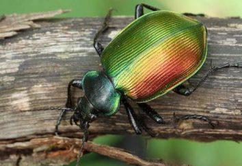 Beetle beauty é um predador útil. Descrição e modo de vida