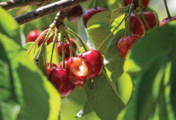 Jak odstraszyć ptaki z wiśni: szczególnie skutecznych metod i zaleceń