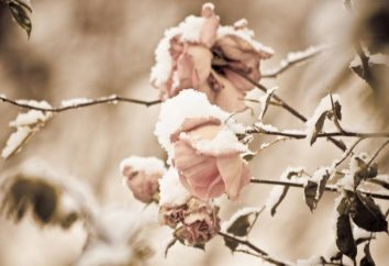 Kiedy otworzyć róże: niektóre zasady ich zachowania