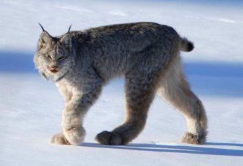 lince canadiense – un gato que puede ser domesticado