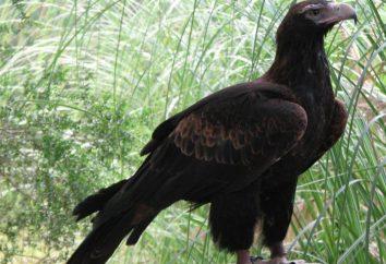 Największe gatunki orłów: opis
